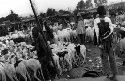 troupeau chèvre sénégal