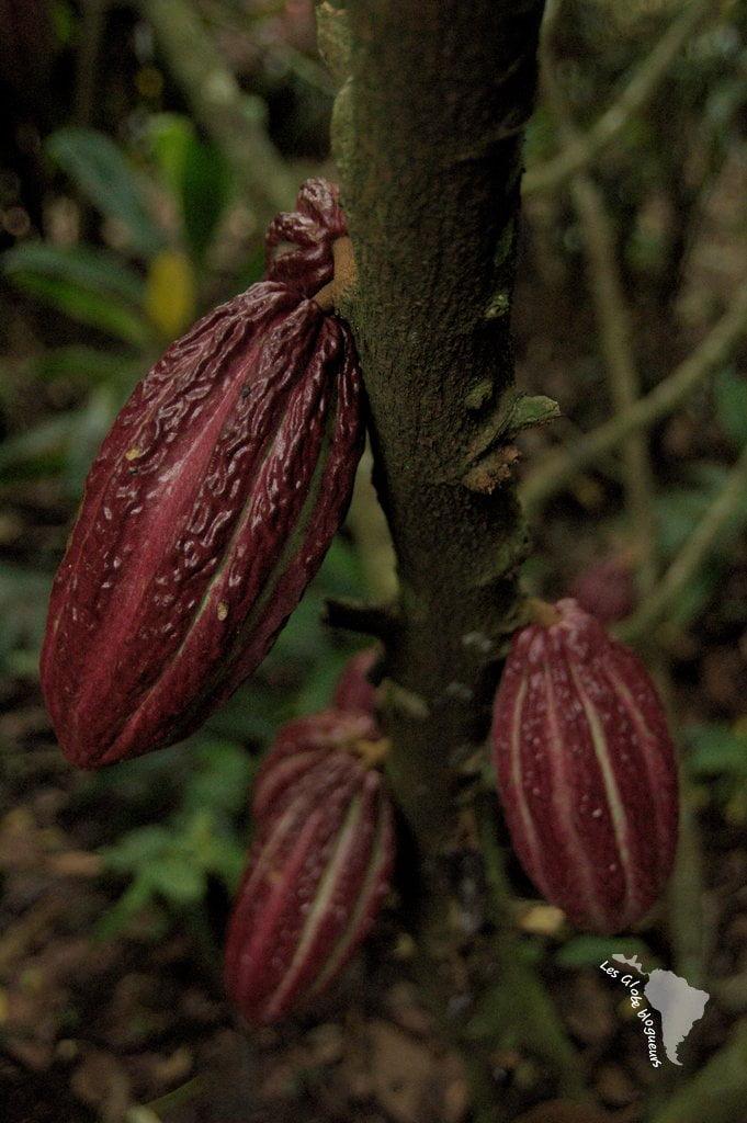 cacao cabosse chocolat honduras
