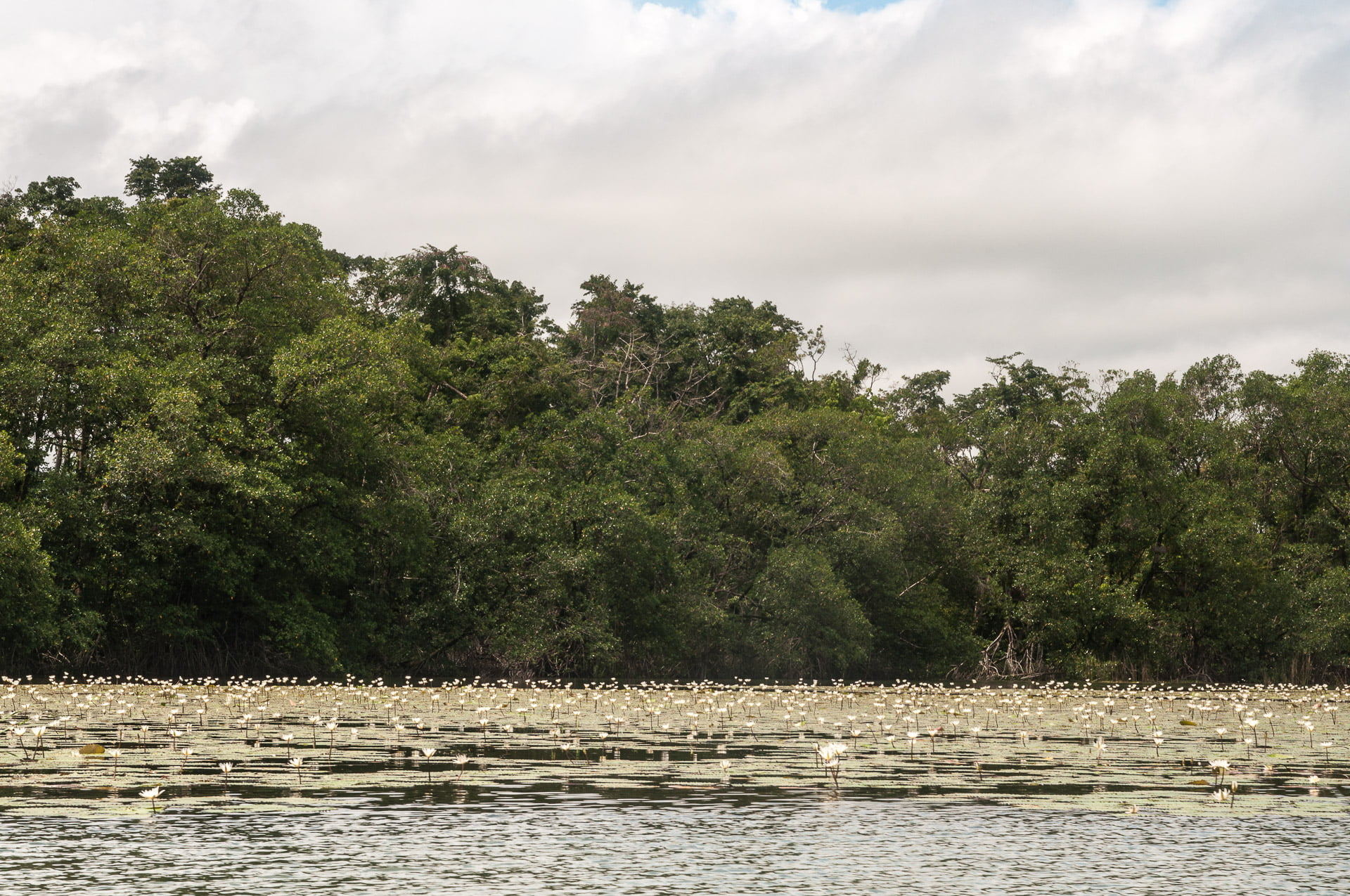 Lagune fleur Rio dulce Guatemala