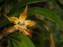 Orchidée étoilée