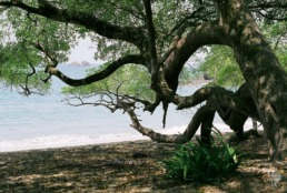 plage arbre manuel antonio