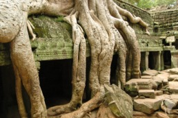 temple arbre cambodge