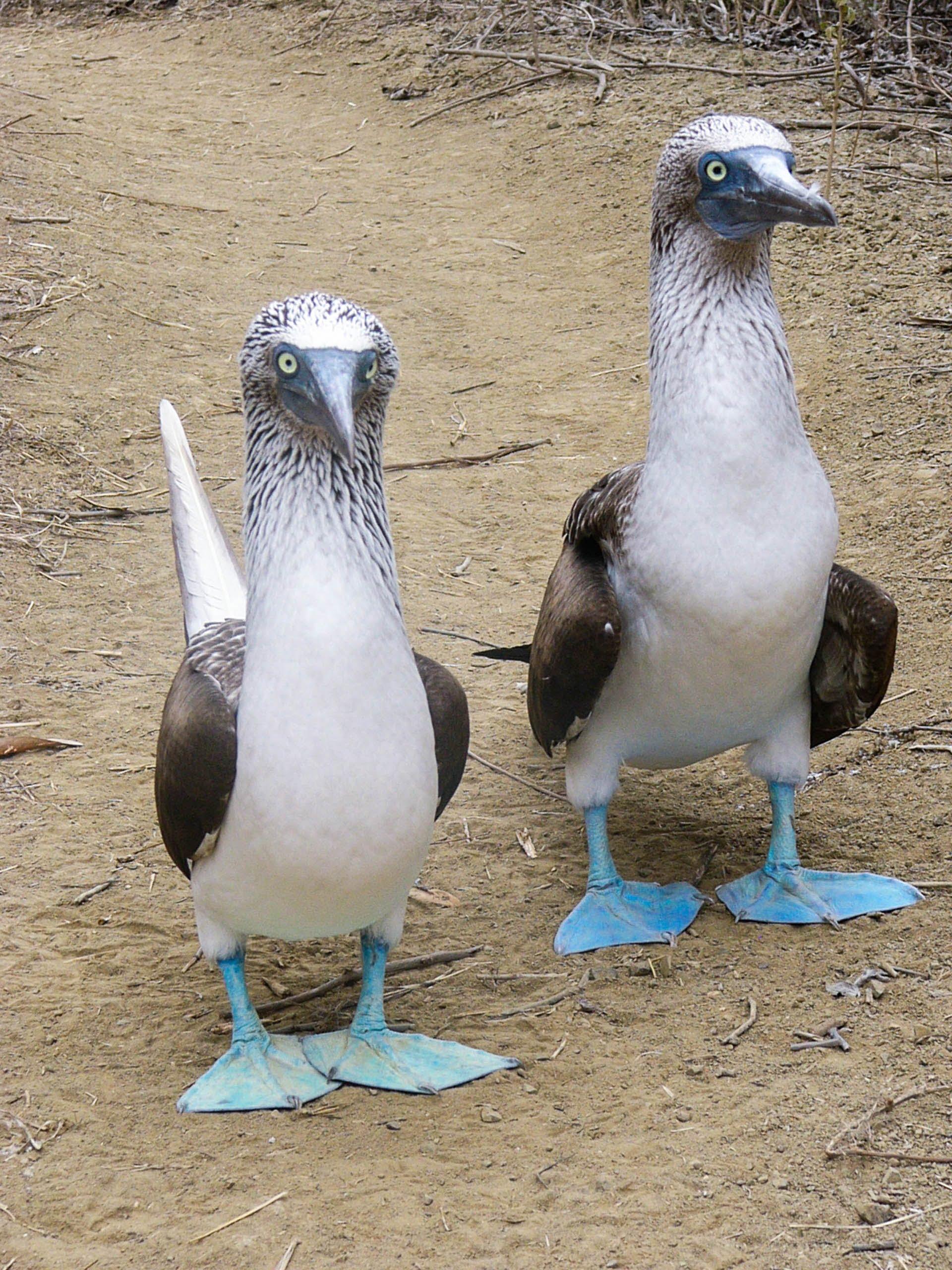 Fous à pattes bleus