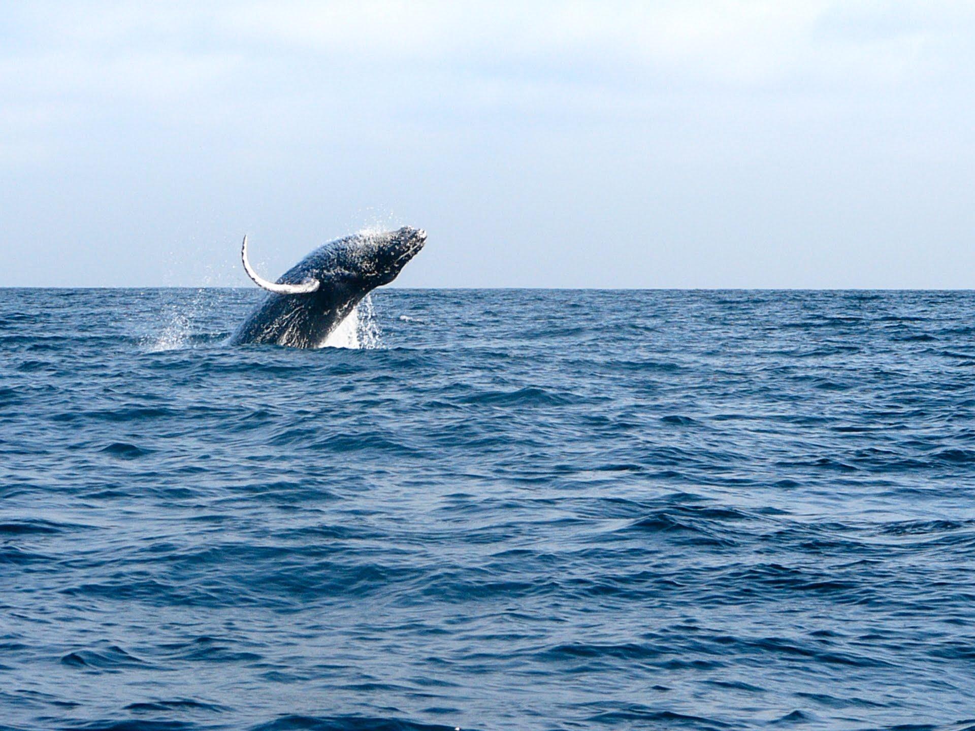 Saut de la baleine à bosse à l'isla de la plata