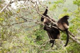 propithèque lémuriens