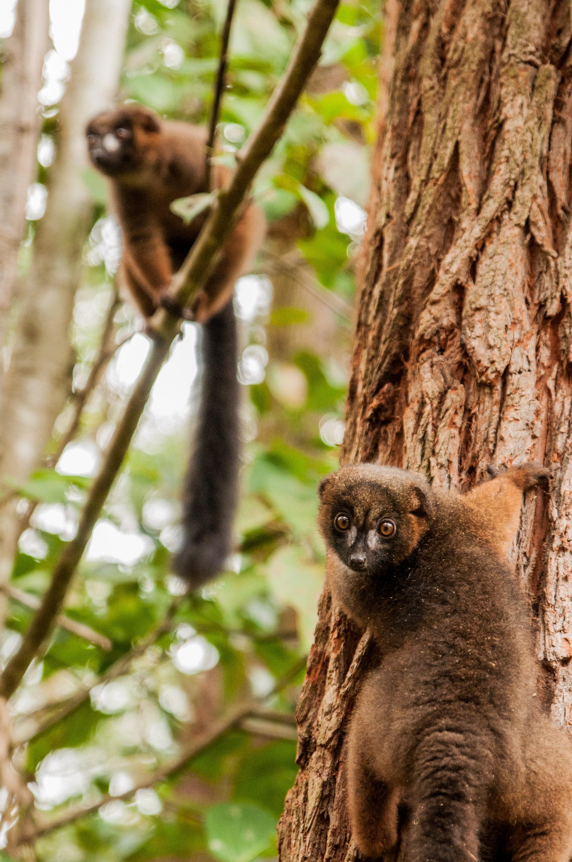 lémuriens à ventre roux