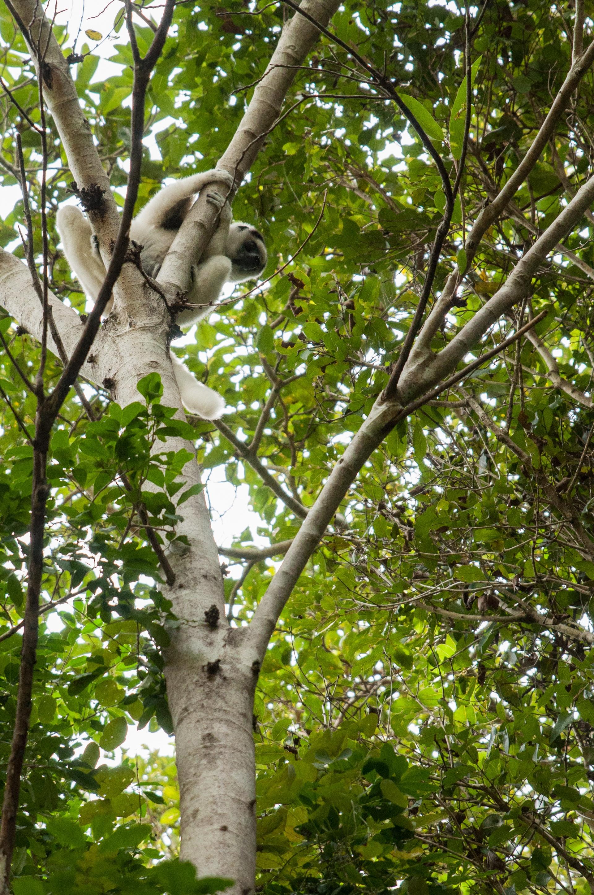 lémurien blanc accroché bis isalo