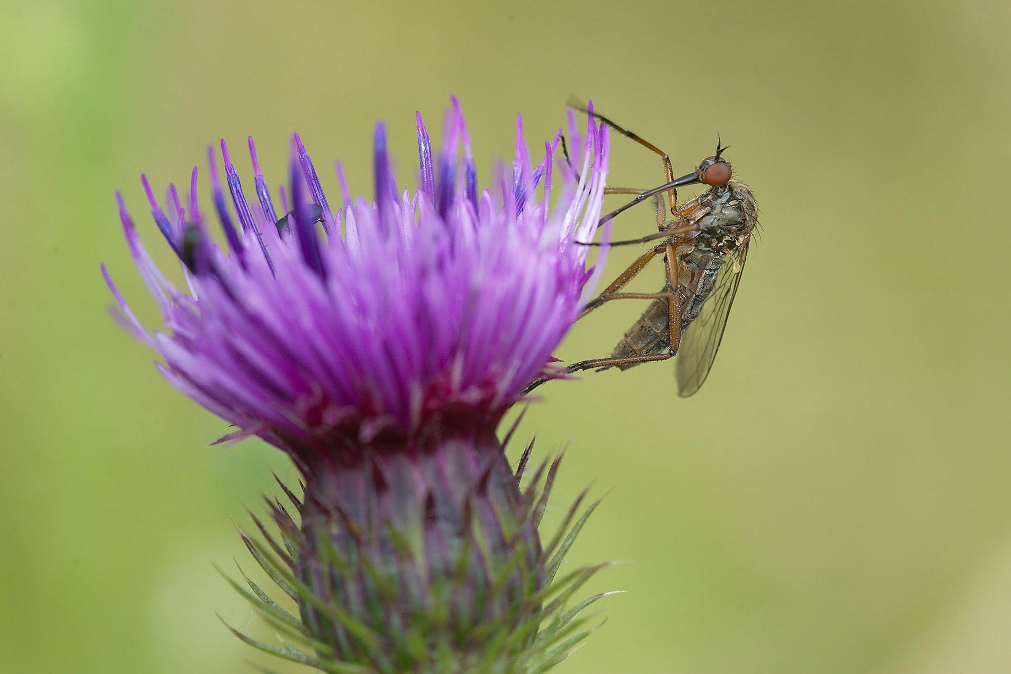 Et oui, les moustiques, ça se nourrit de nectar !