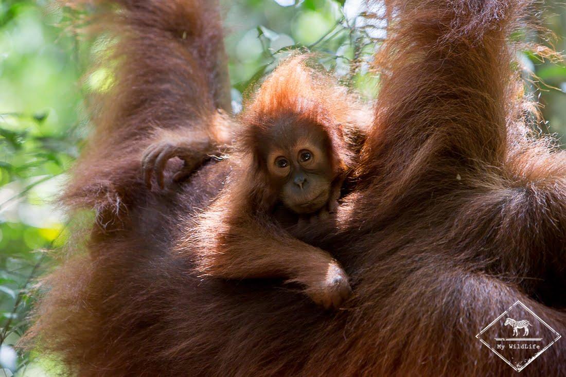 Le parc national Gunung Leuser en Indonésie et ses orangs outans