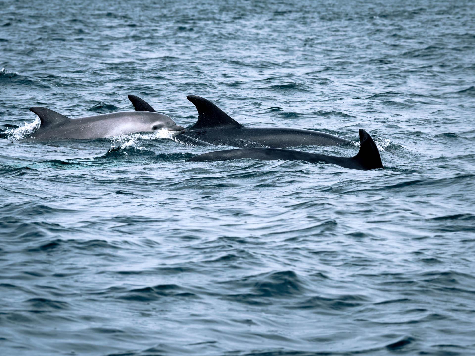 bébé dauphin mer d'iroise finistère