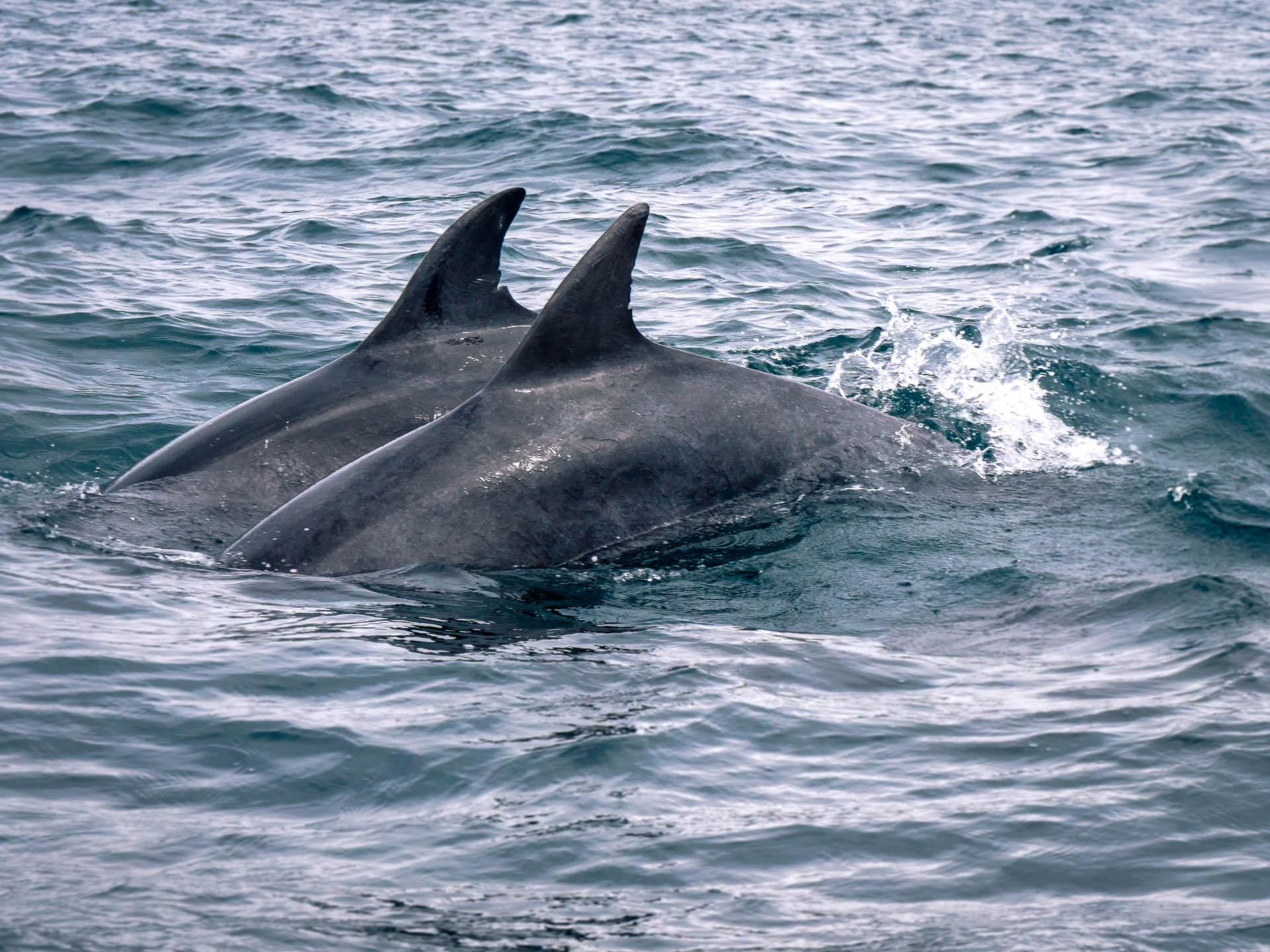 conquet grand dauphin iroise