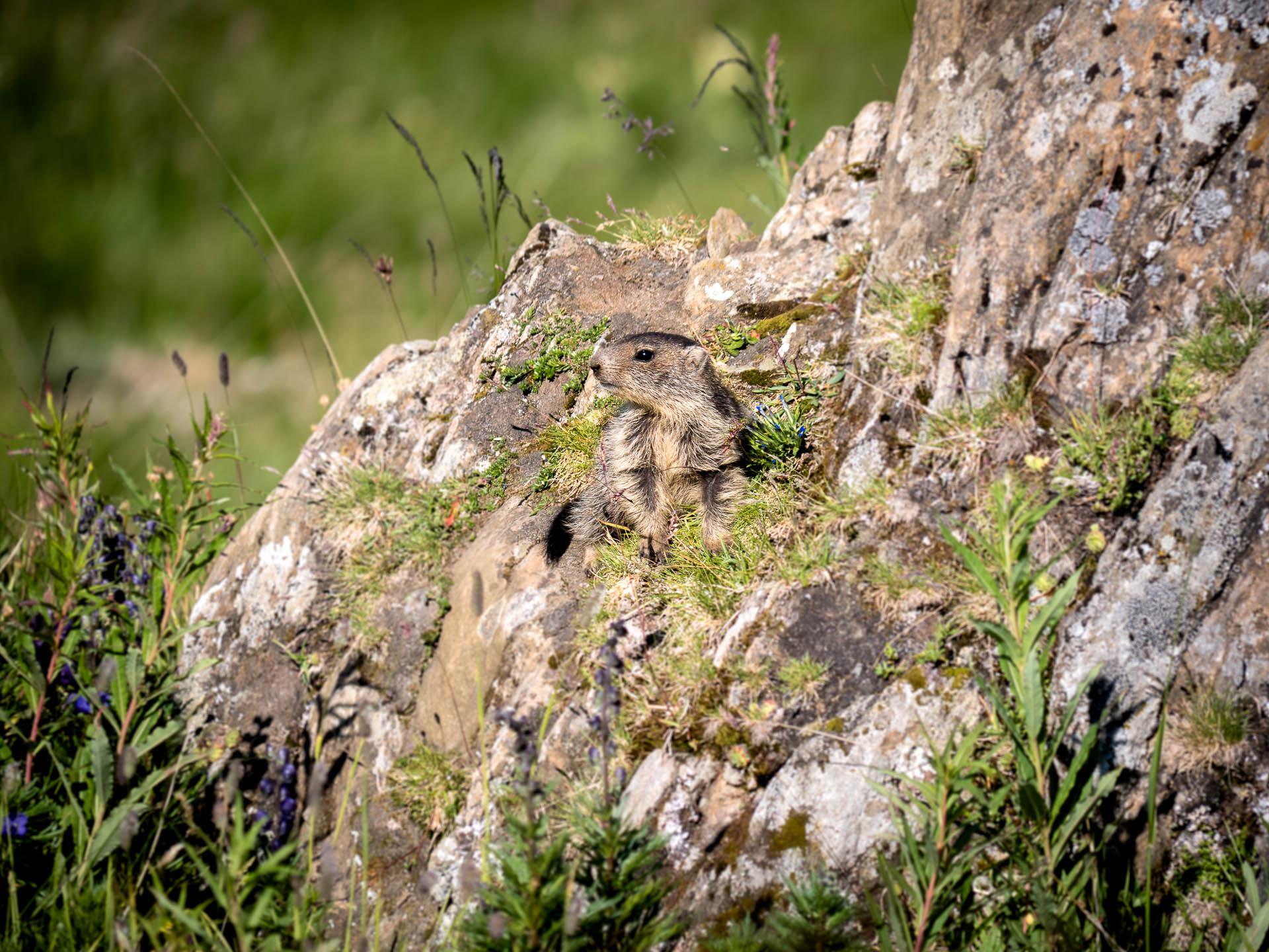 réchy bébé marmotte - Les globe blogueurs - blog voyage nature
