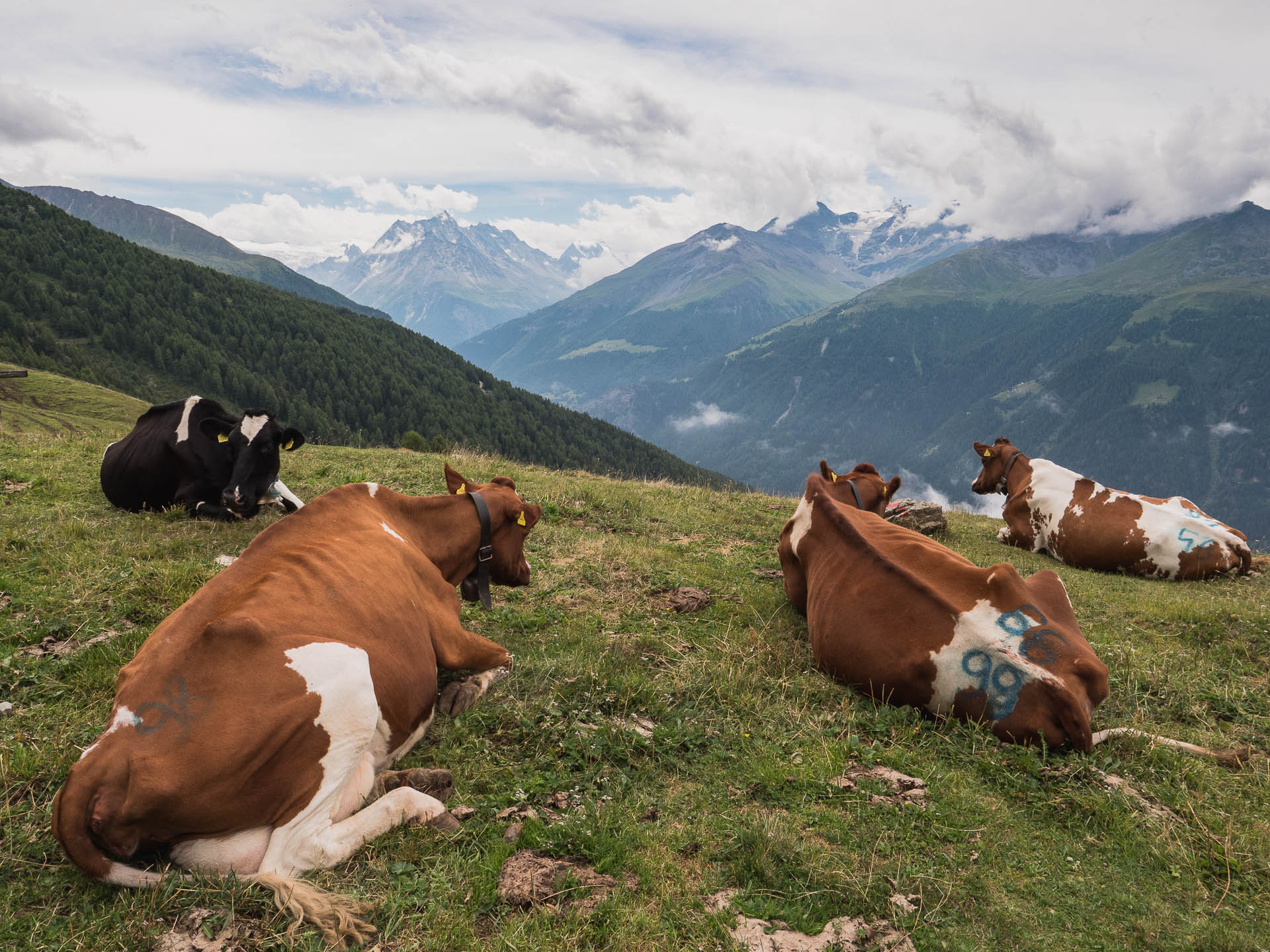 val dherens alpage vaches - Les globe blogueurs - blog voyage nature