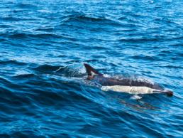 observation dauphin à sagres en algarve