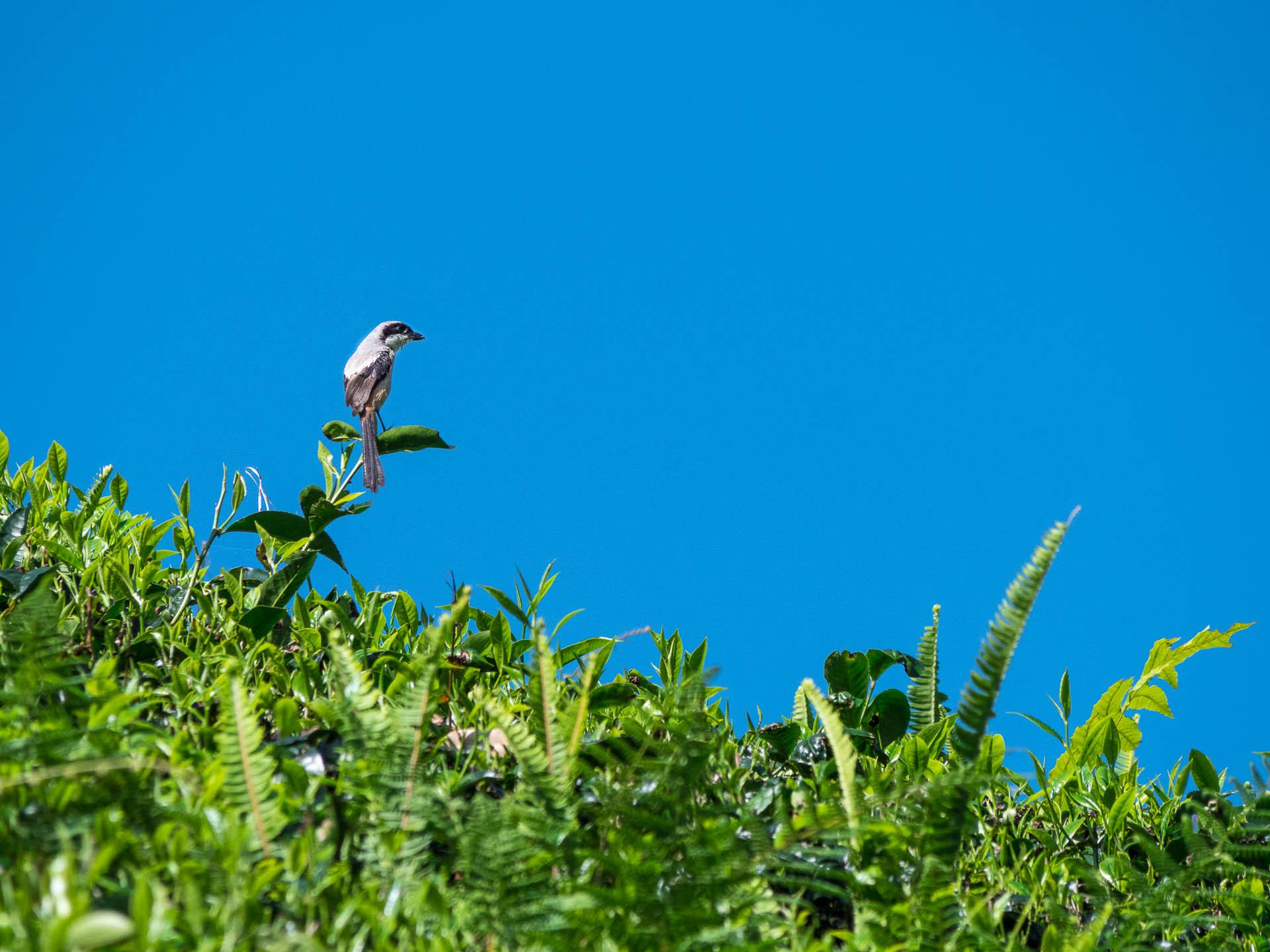Cameron oiseau