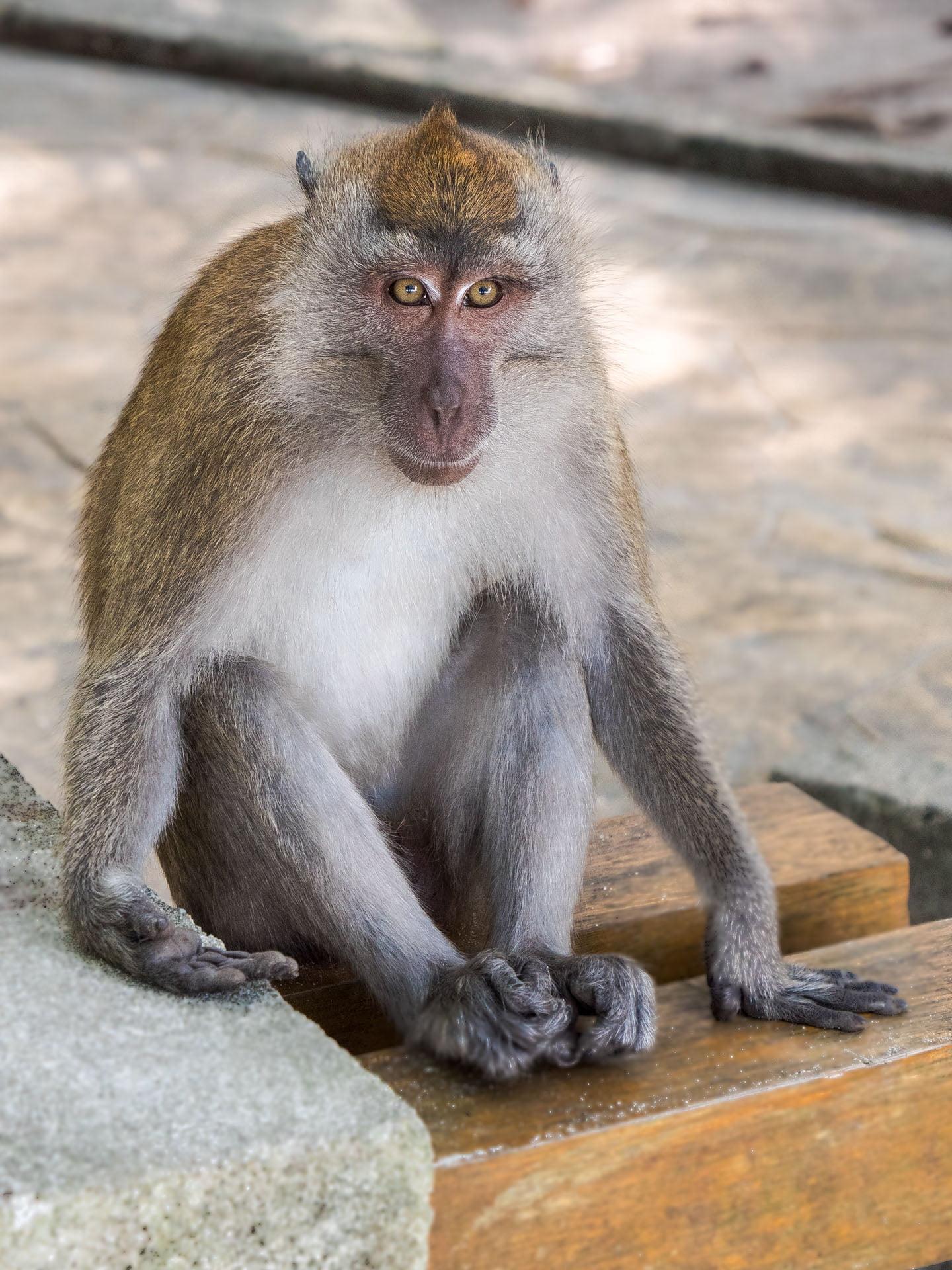 Penang macaque bis - Les globe blogueurs - blog voyage nature