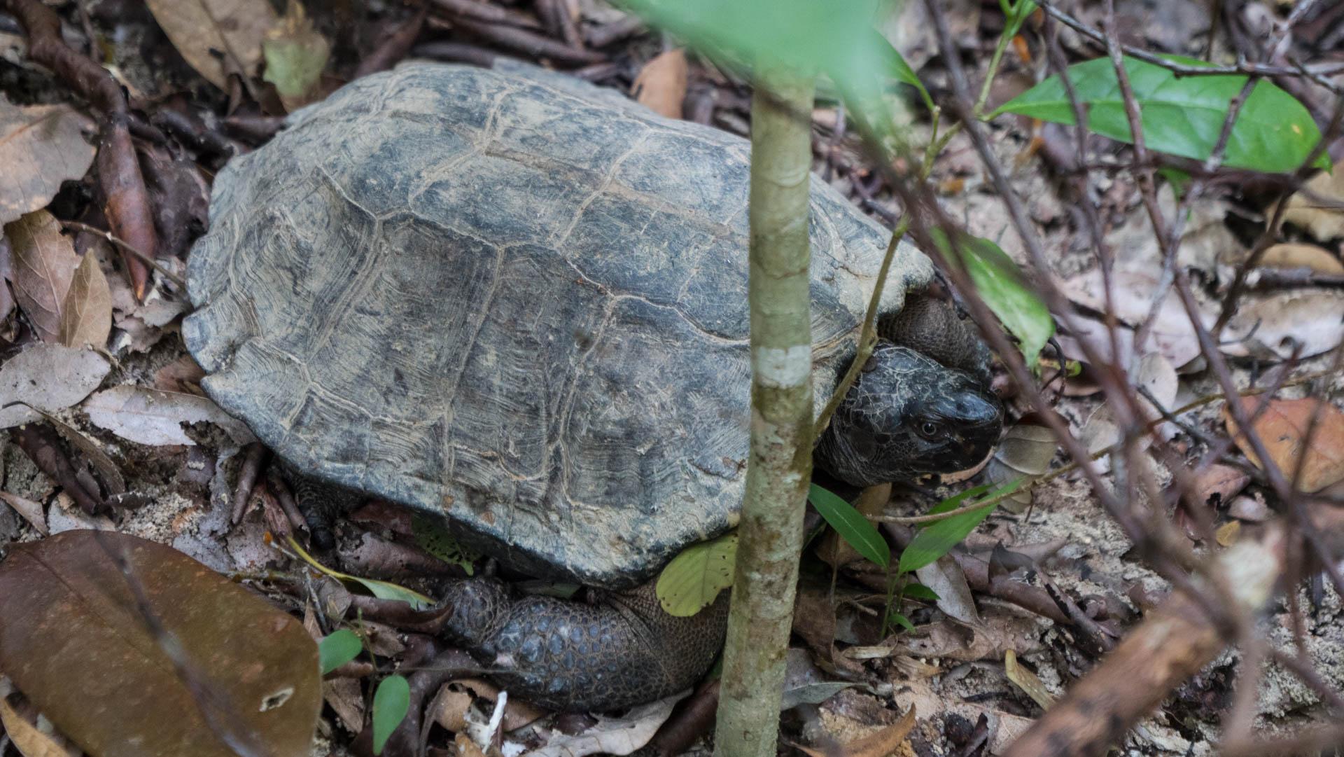Penang tortue - Les globe blogueurs - blog voyage nature