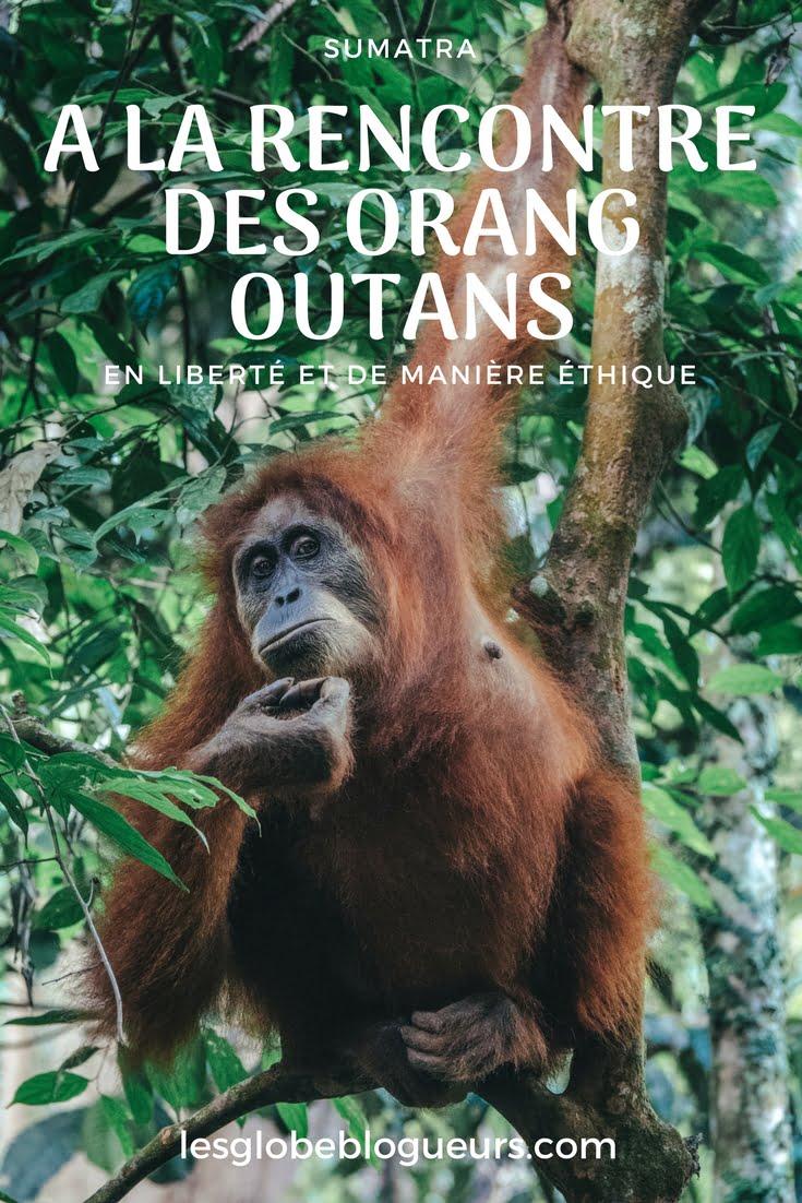 orang outan indonésie