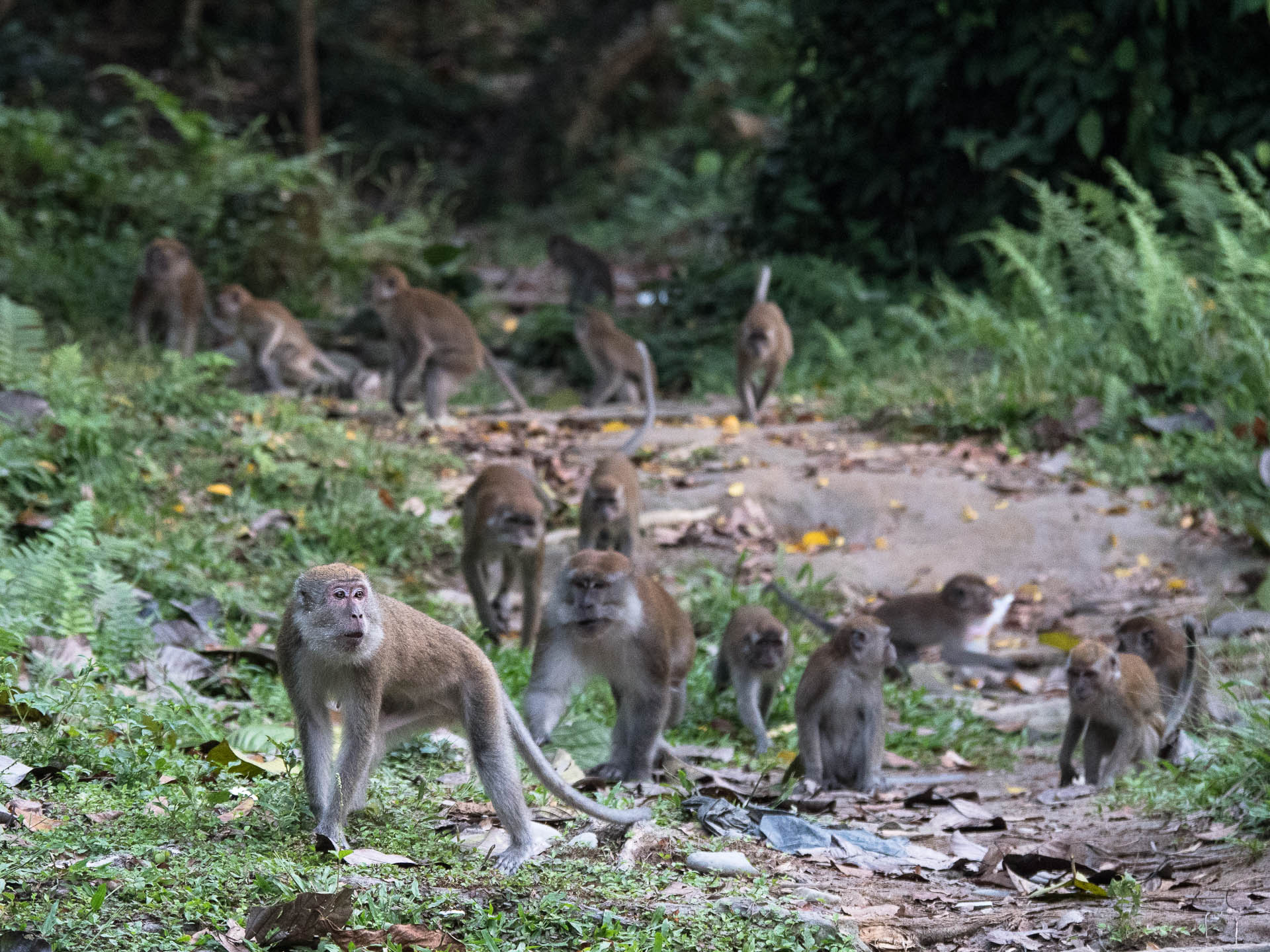macaque Bukit lawang