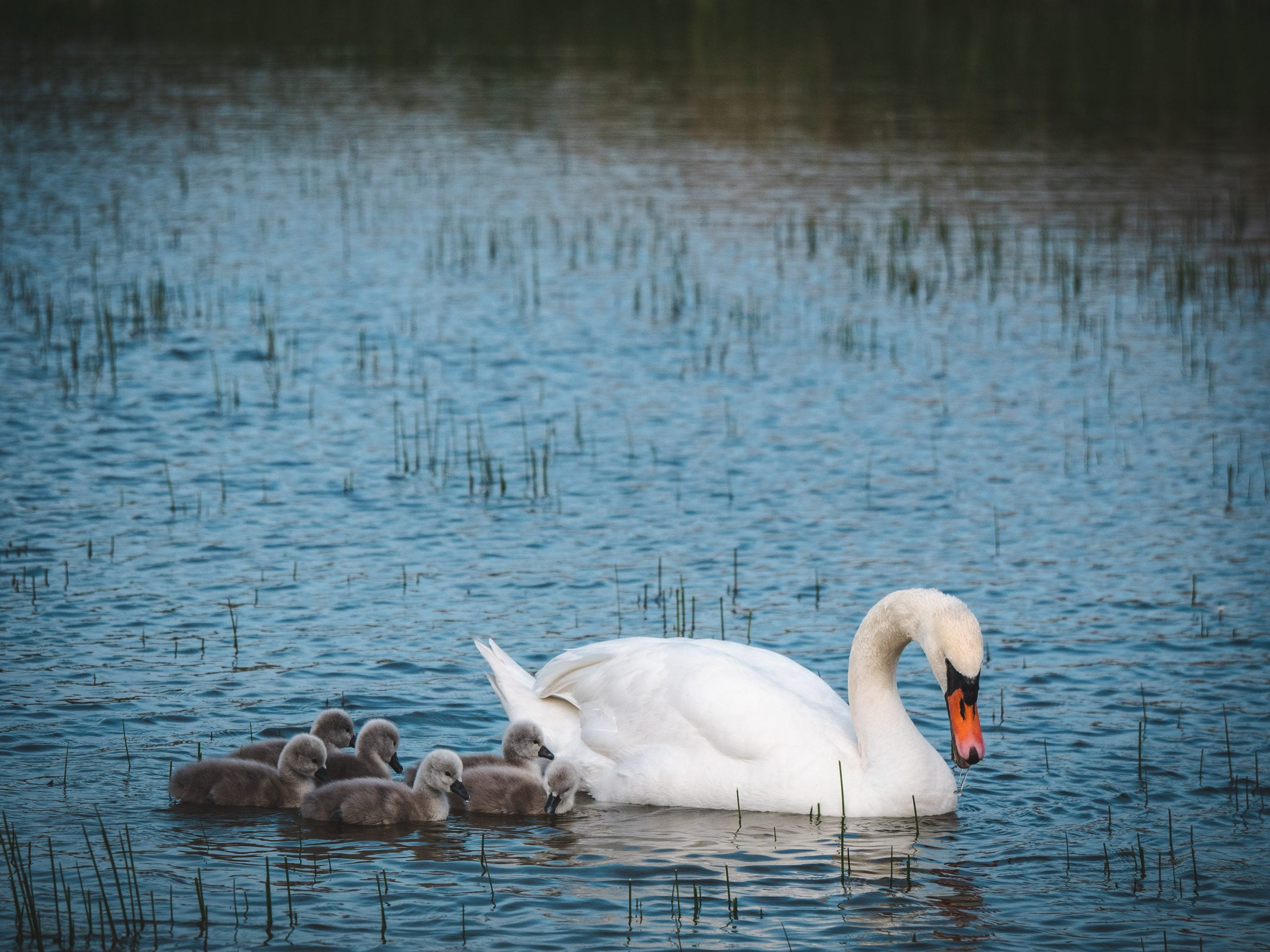 somme marquenterre cygnes 2 scaled - Les globe blogueurs - blog voyage nature