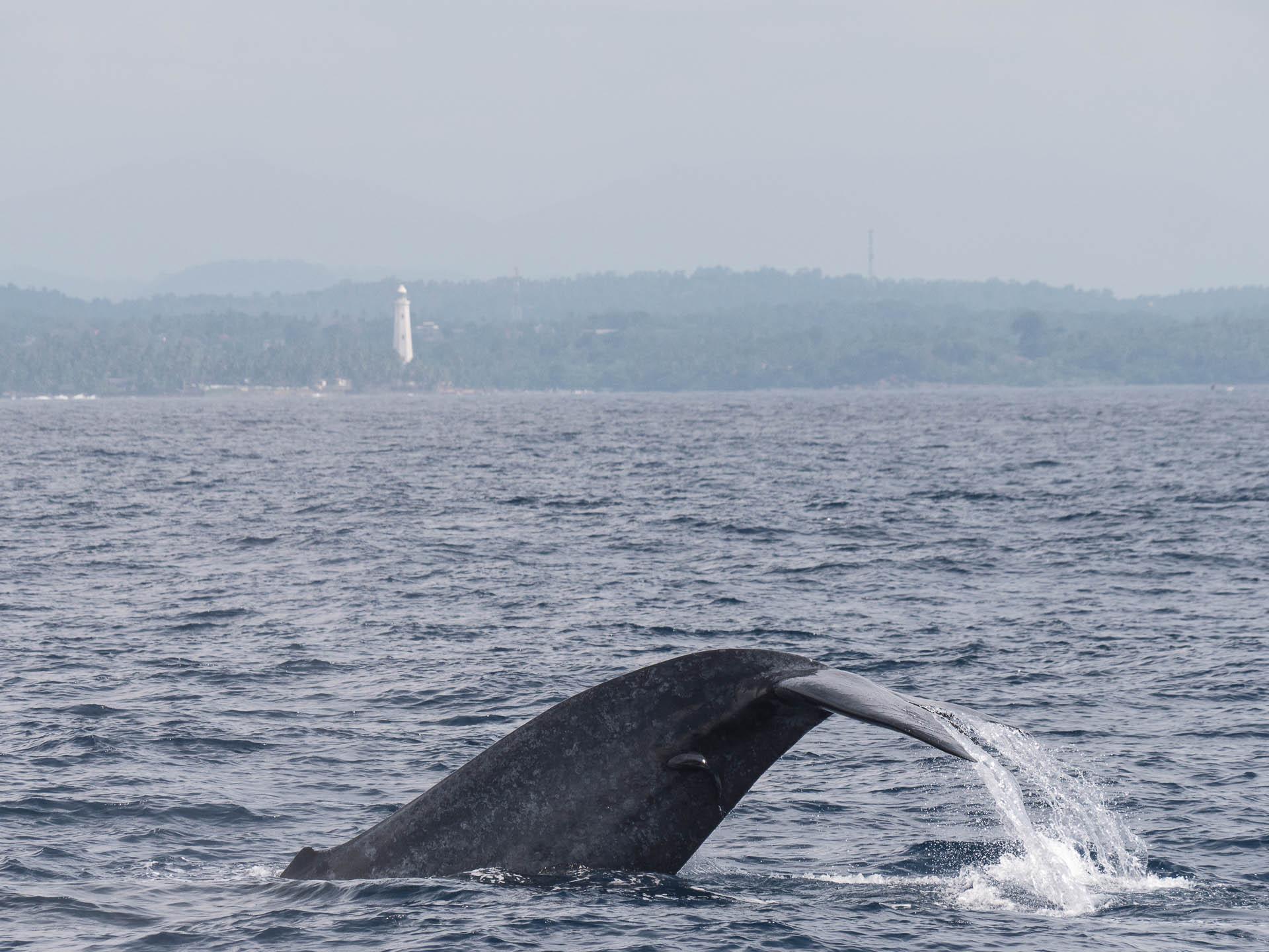 baleine mirissa sri lanka
