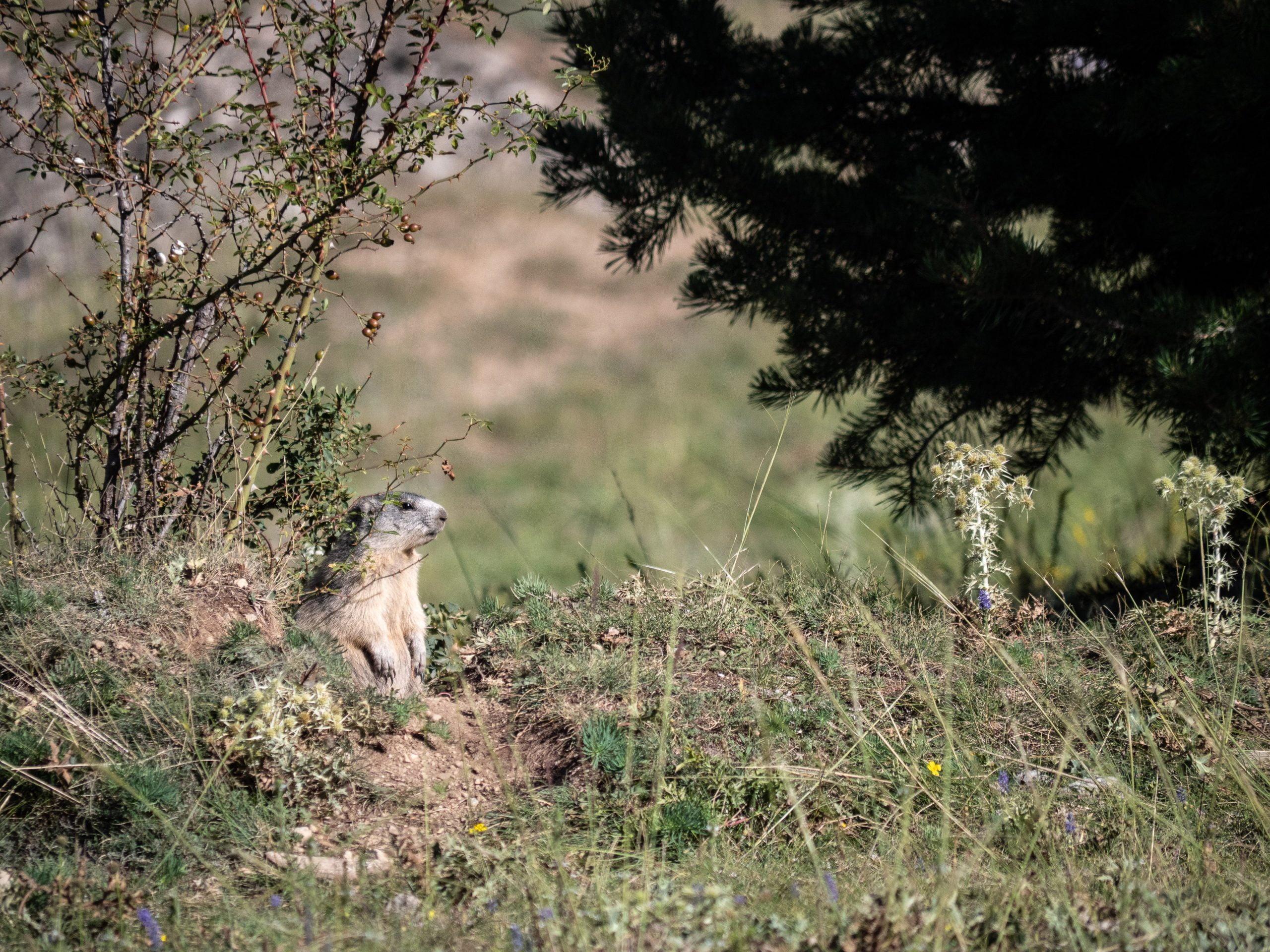 Le sentier des marmottes à Guillestre, randonnée pédagogique sur un drôle d'animal