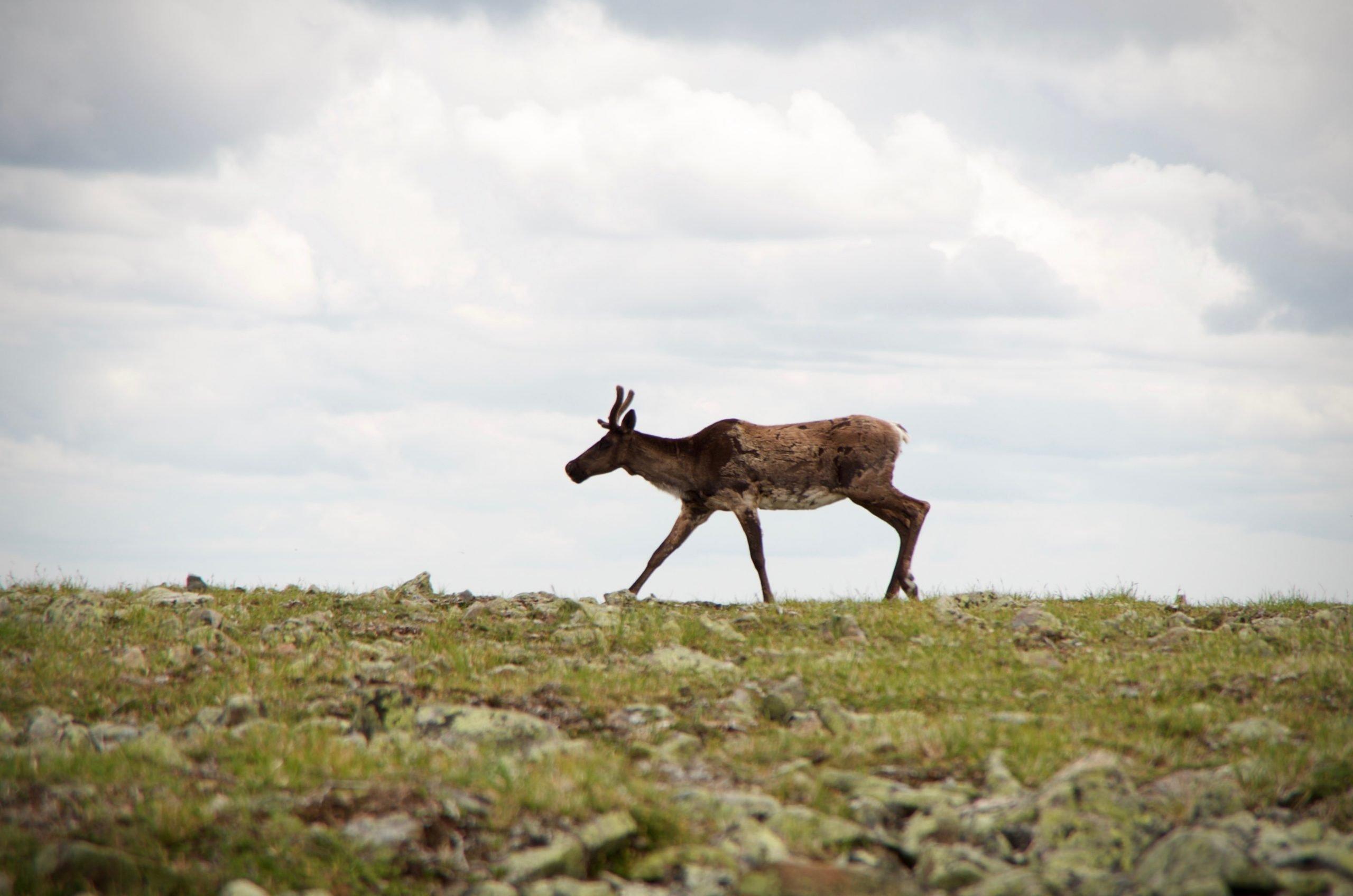 mont jacques cartier caribou