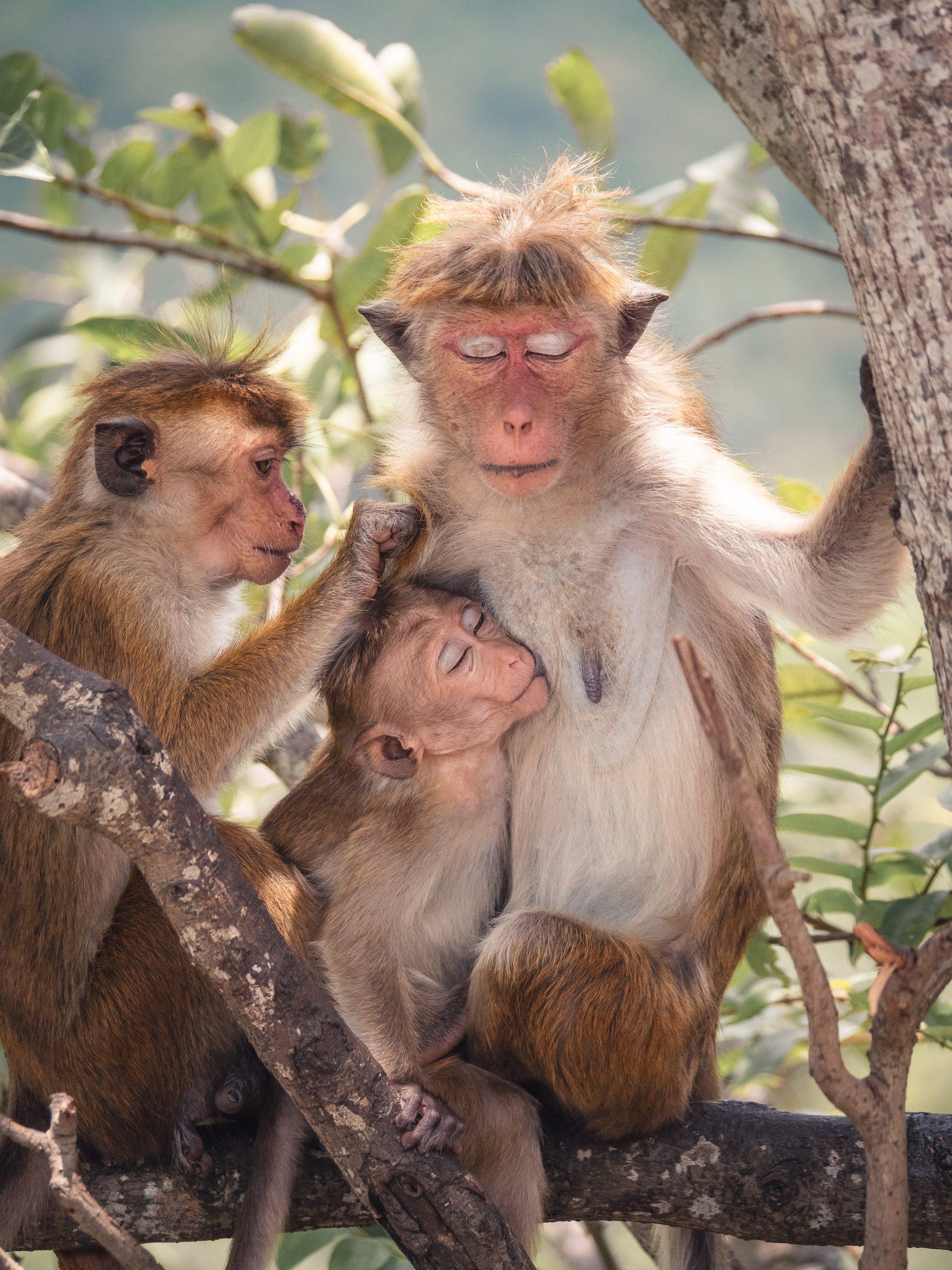 Temple d'or de dambulla au Sri Lanka - singe
