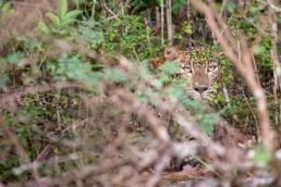 Léopard Sri Lanka parc national de WIlpattu