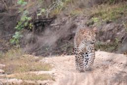 Léopard safari parc national de Wilpattu au Sri Lanka