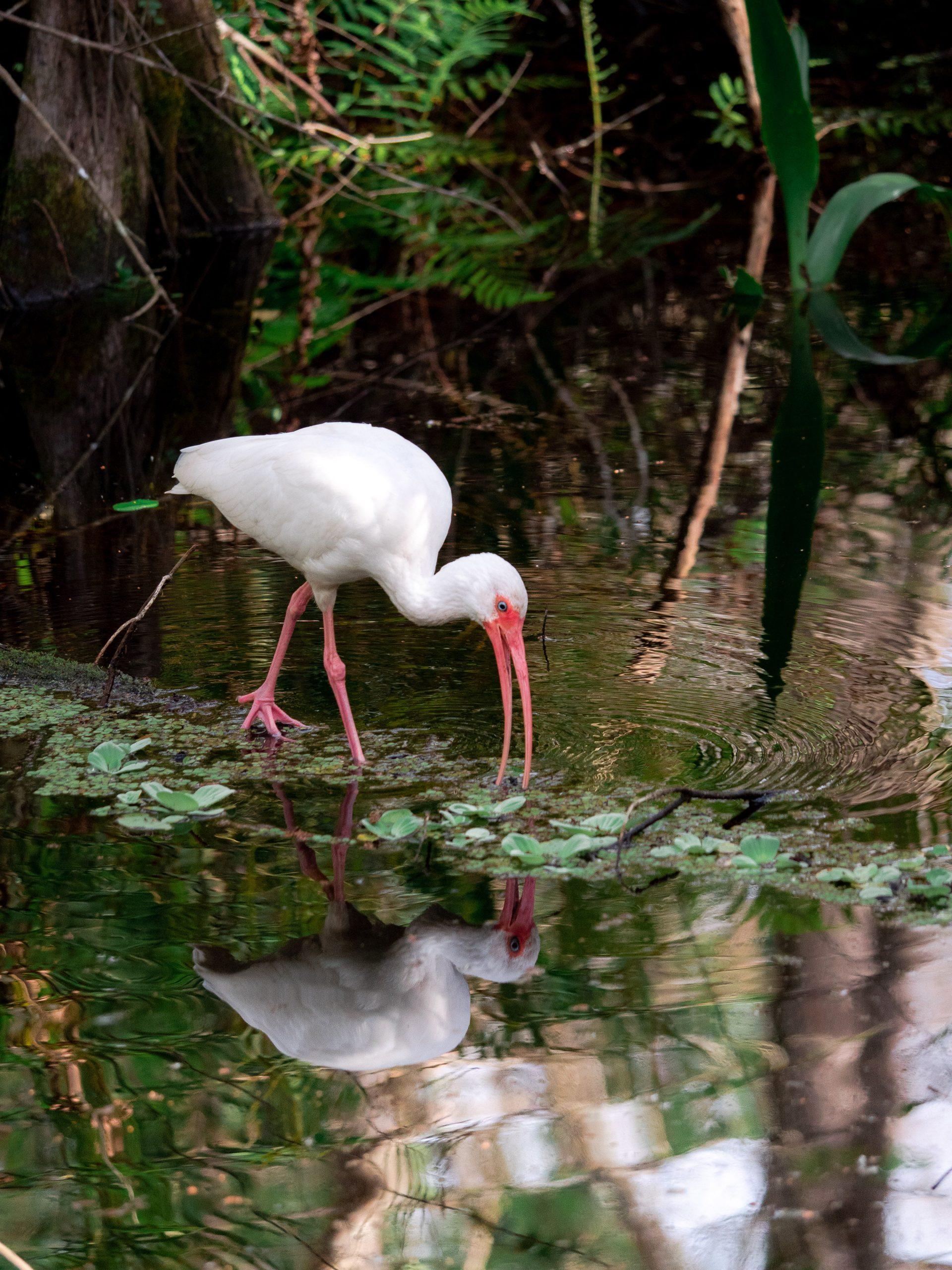ibis blanc everglades floride