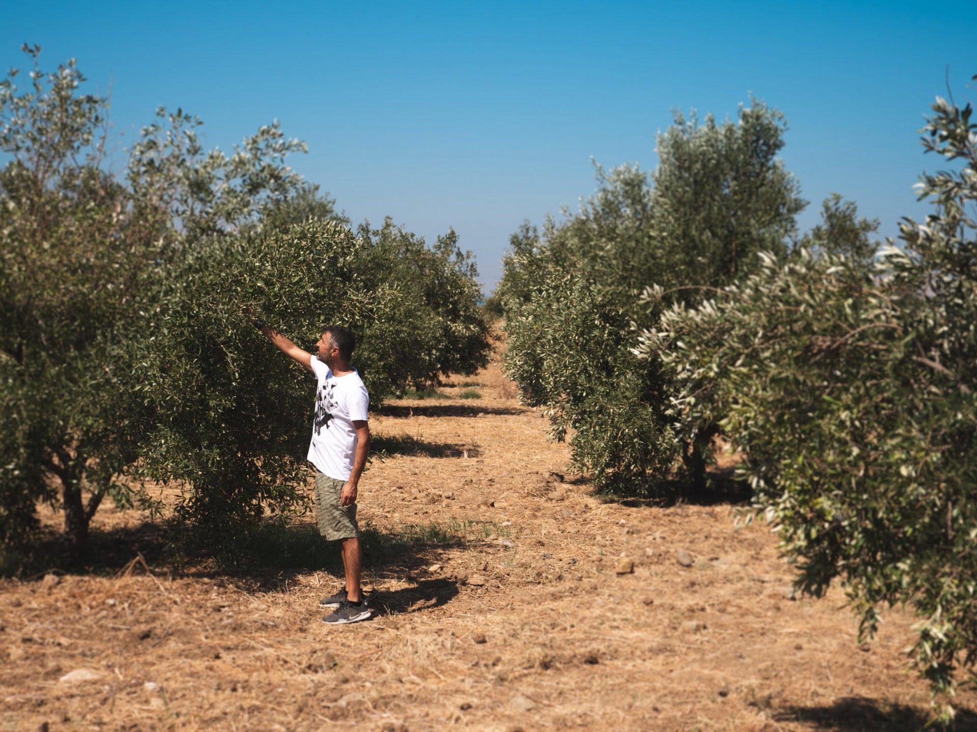 Koakos Elaionas olive