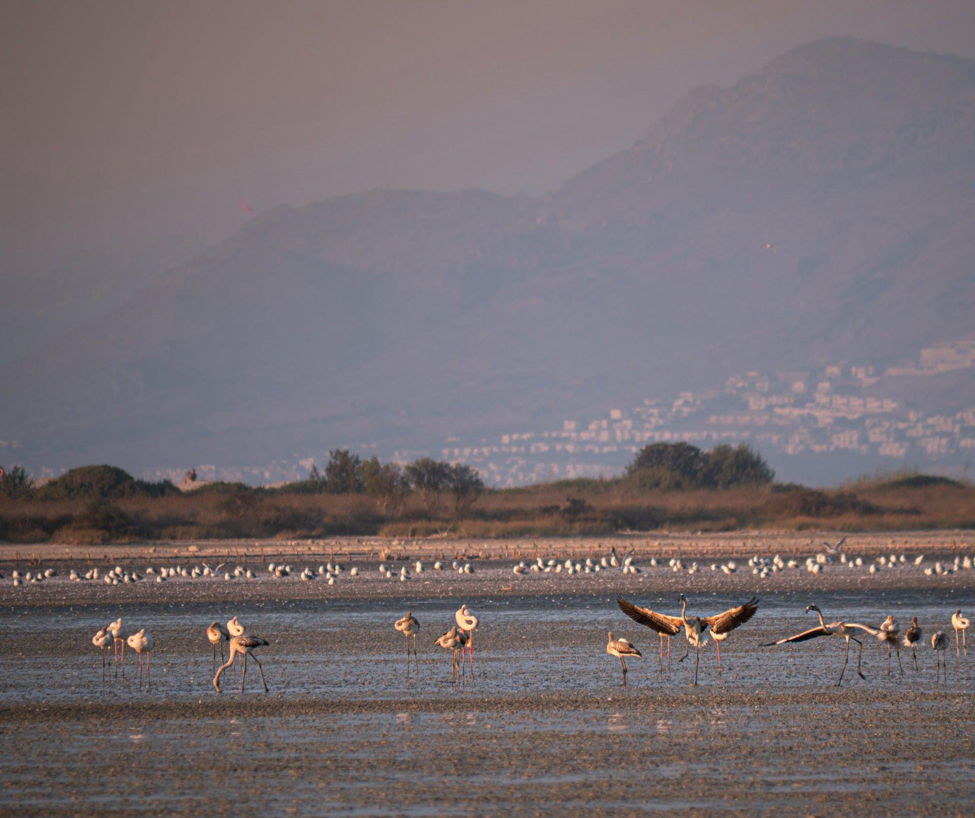 flamingo kos