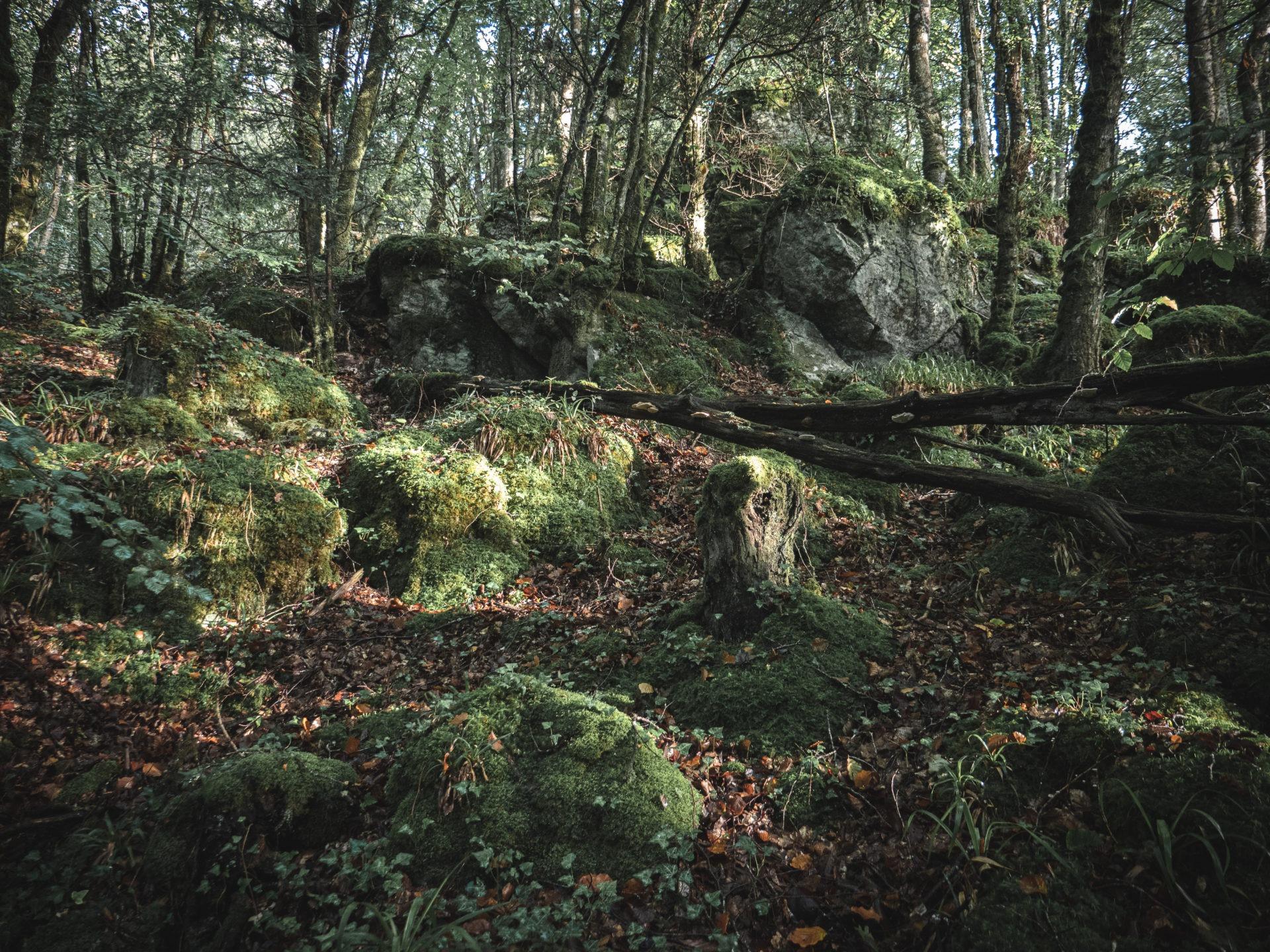 forêt coat an noz à Belle-Isle-en-Terre