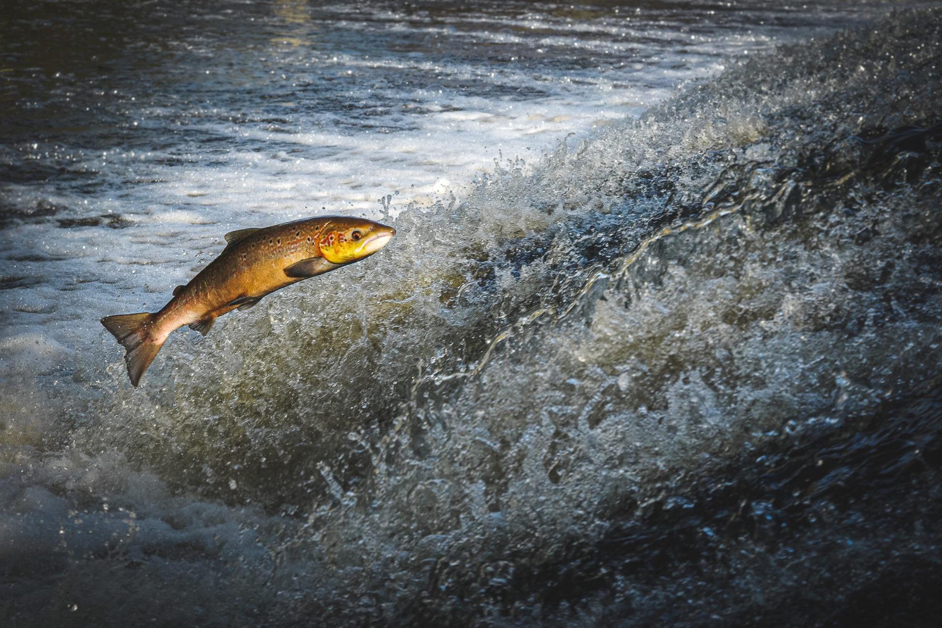 saumon vallée du leguer