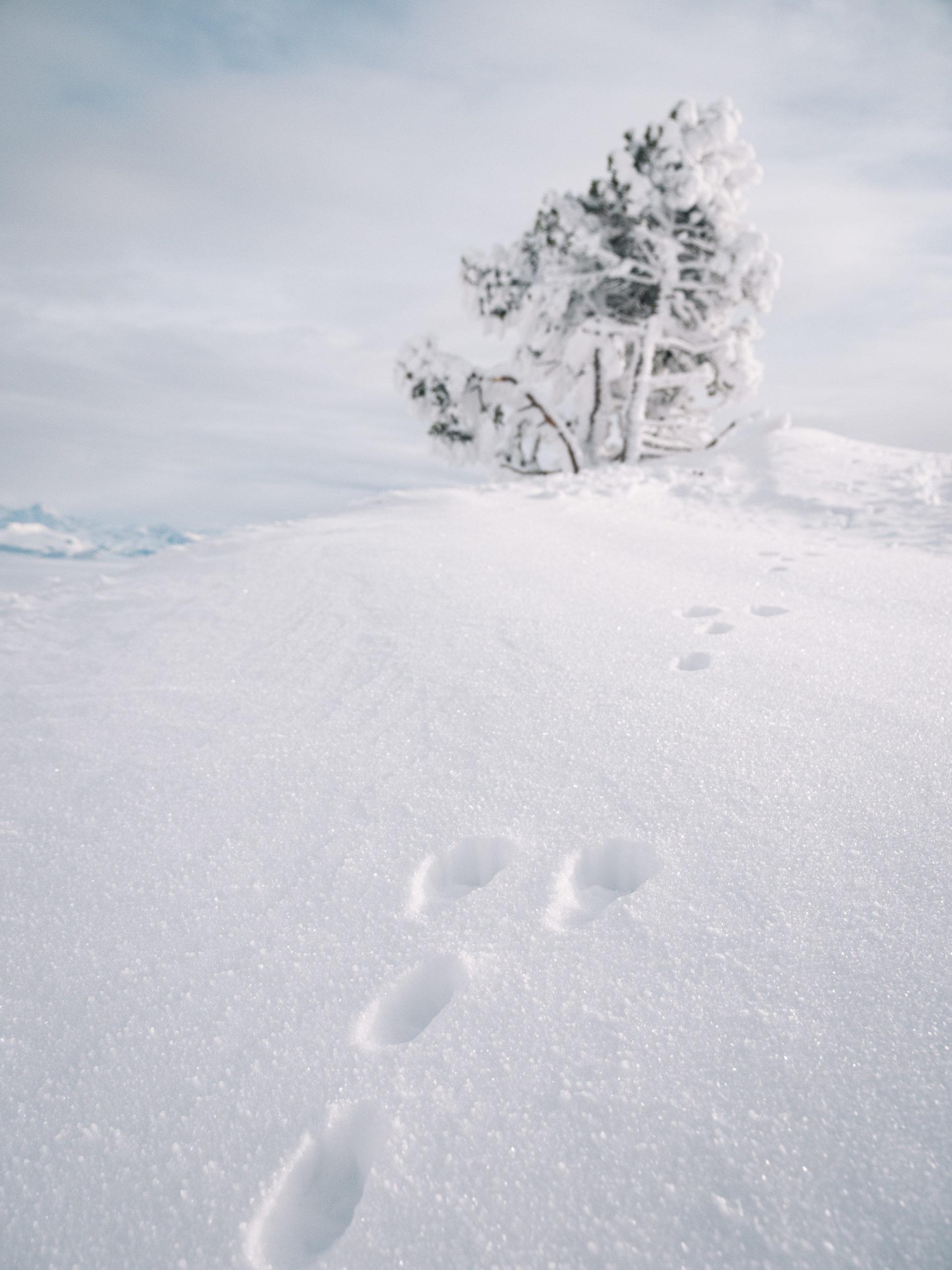 traces de renard dans la neige